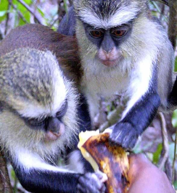 Feeding the monkeys mangos