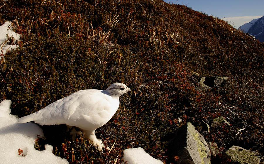 A furry-footed snow bird