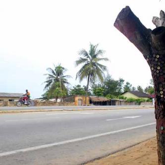 The elusive West African Bottle Cap tree